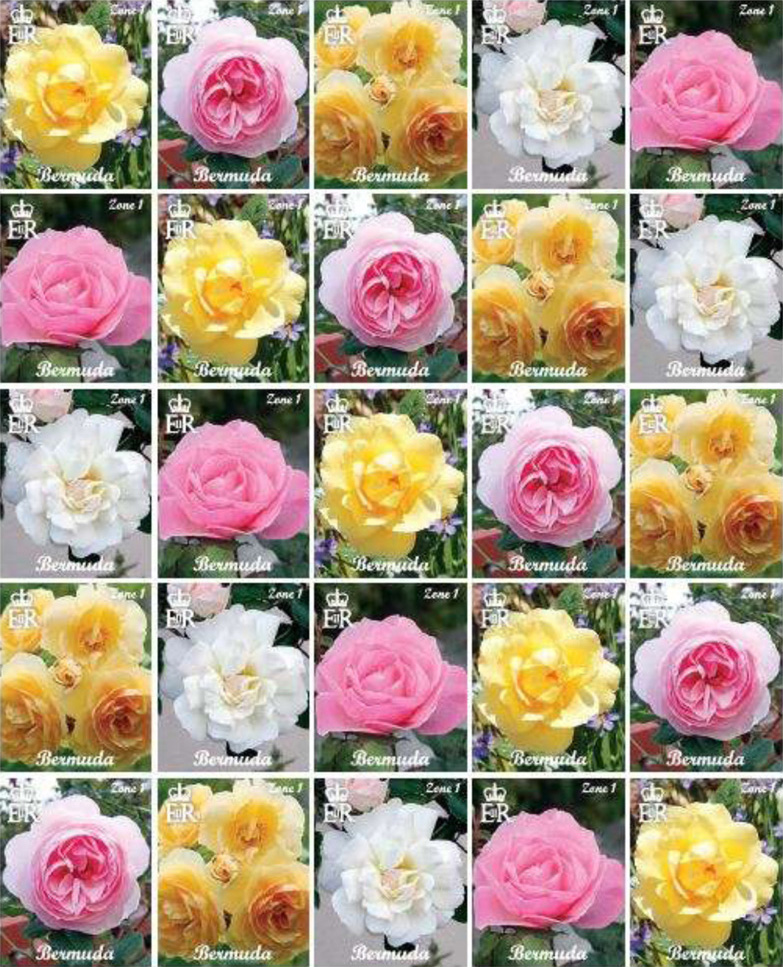 WORLD ROSE NEWS,  May, 2017  -  docx.pdf
