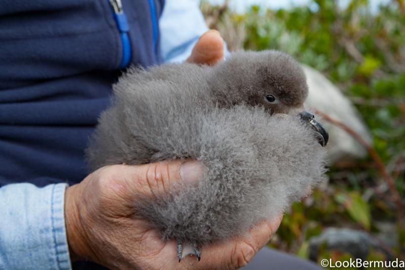 Cahow chicks Bermuda July 2017 (6)