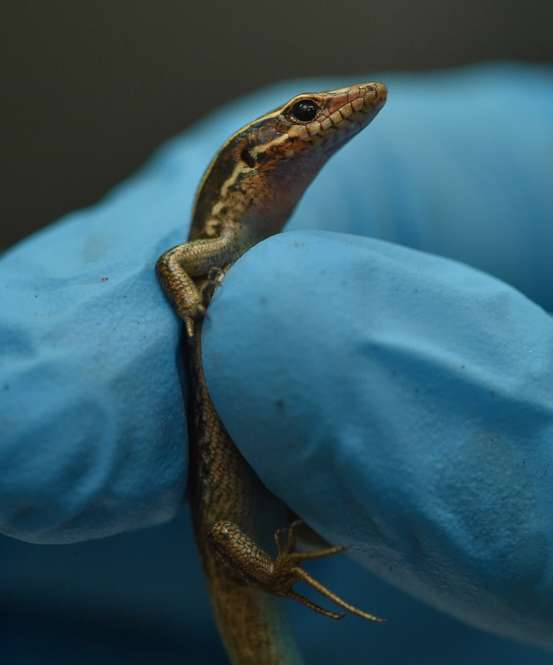 World First Rare Rock Lizards Hatch (2)