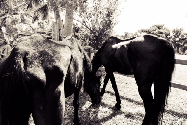Horses Bermuda Oct 23 2017 (4)