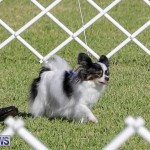 International Dog Show Bermuda, October 21 2017_8099