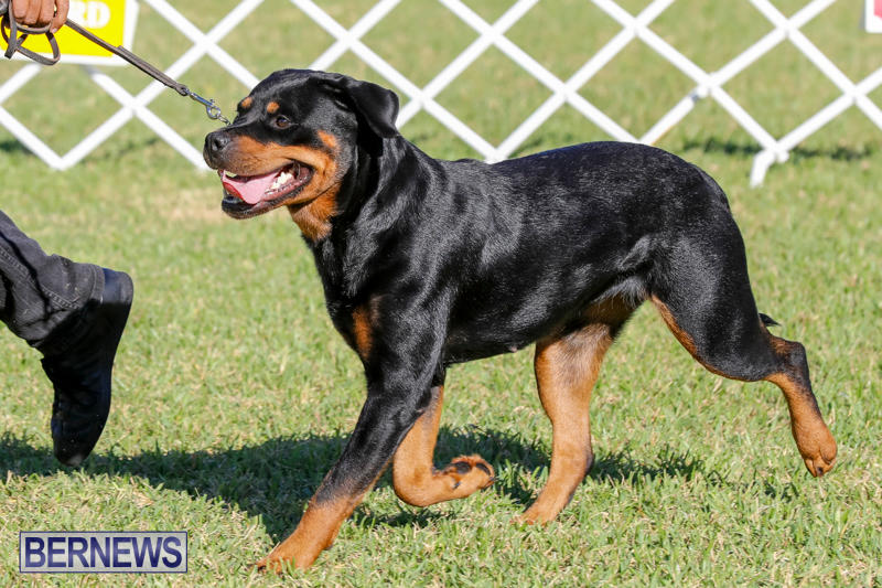 International-Dog-Show-Bermuda-October-21-2017_8105