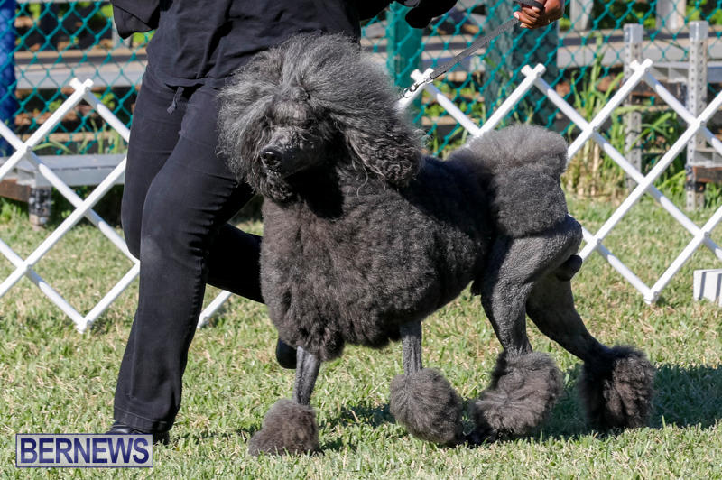 International-Dog-Show-Bermuda-October-21-2017_8270