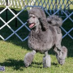 International Dog Show Bermuda, October 21 2017_8309