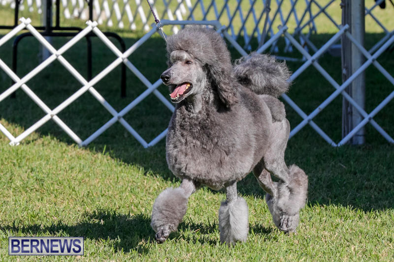International-Dog-Show-Bermuda-October-21-2017_8309