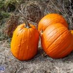 J&J Produce Pumpkin Picking Bermuda, October 14 2017_6085