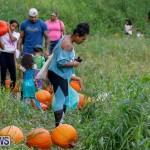 J&J Produce Pumpkin Picking Bermuda, October 14 2017_6106