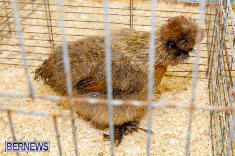 Bermuda-Poultry-Fanciers-Society's-Bantam-Jamboree-November-11-2017_6330