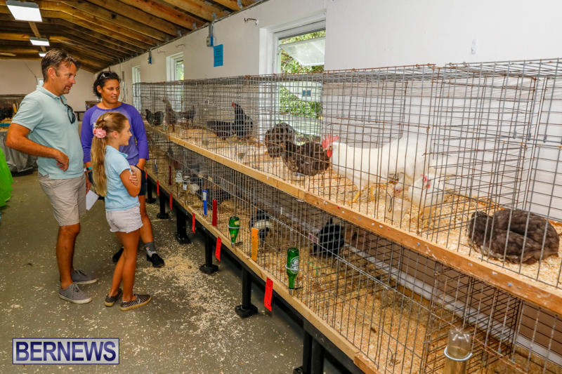 Bermuda-Poultry-Fanciers-Society's-Bantam-Jamboree-November-11-2017_6344