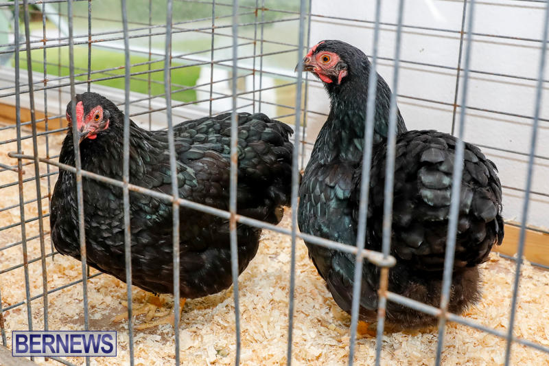 Bermuda-Poultry-Fanciers-Society's-Bantam-Jamboree-November-11-2017_6369