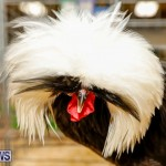 Bermuda Poultry Fanciers Society's Bantam Jamboree, November 11 2017_6418