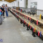 Bermuda Poultry Fanciers Society's Bantam Jamboree, November 11 2017_6480