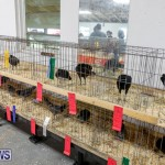 Bermuda Poultry Fanciers Society's Bantam Jamboree, November 11 2017_6481