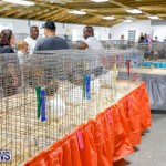 Bermuda Poultry Fanciers Society's Bantam Jamboree, November 11 2017_6483