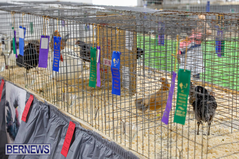 Bermuda-Poultry-Fanciers-Society's-Bantam-Jamboree-November-11-2017_6484