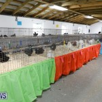 Bermuda Poultry Fanciers Society's Bantam Jamboree, November 11 2017_6487