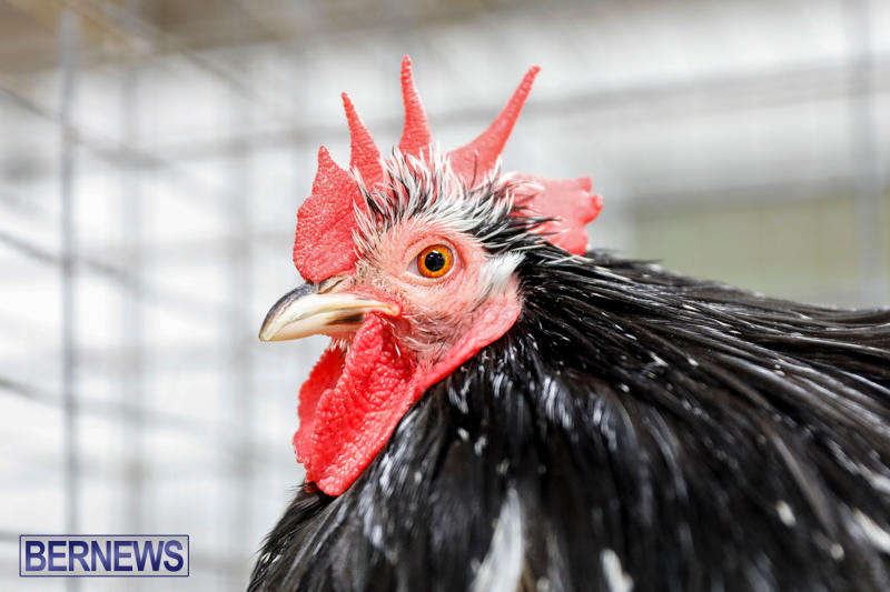 Bermuda-Poultry-Fanciers-Society's-Bantam-Jamboree-November-11-2017_6527