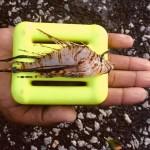 Winter Lionfish Derby Bermuda Feb 2018 (1)
