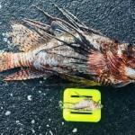 Winter Lionfish Derby Bermuda Feb 2018 (7)