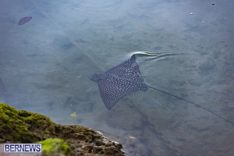 246 Eagle Ray Bermuda Generic February 2018