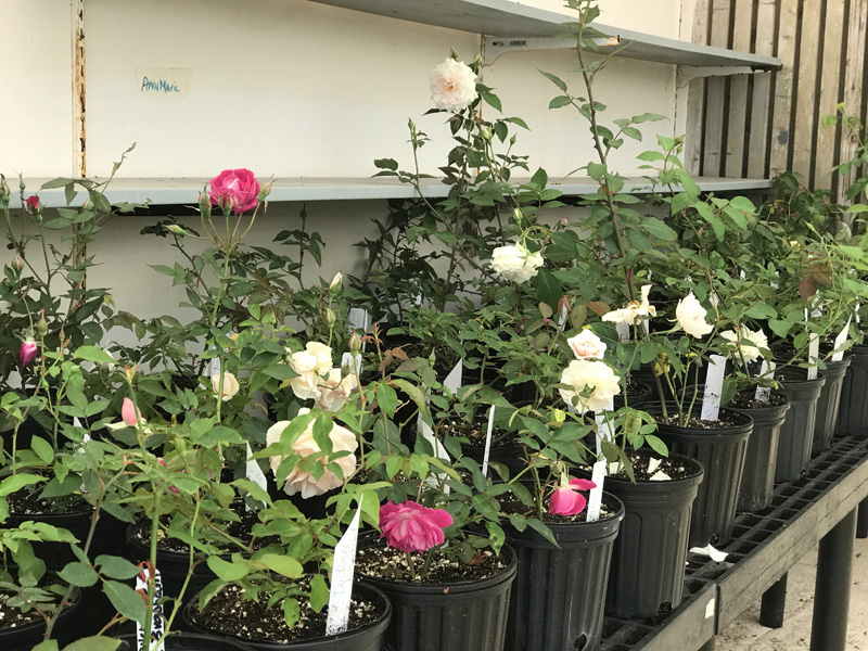 Garden Club's Plant Sale Bermuda April 2018 (2)