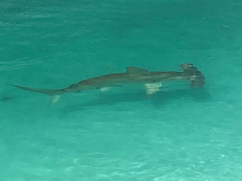 Hammerhead shark Bermuda April 4 2018