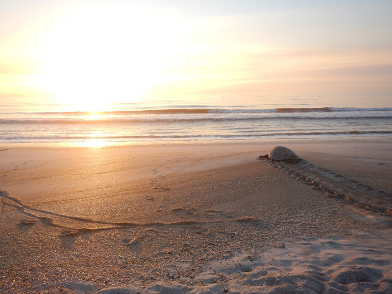 Green turtle returns to the sea,  South Ponte Vedra Beach, Florida
