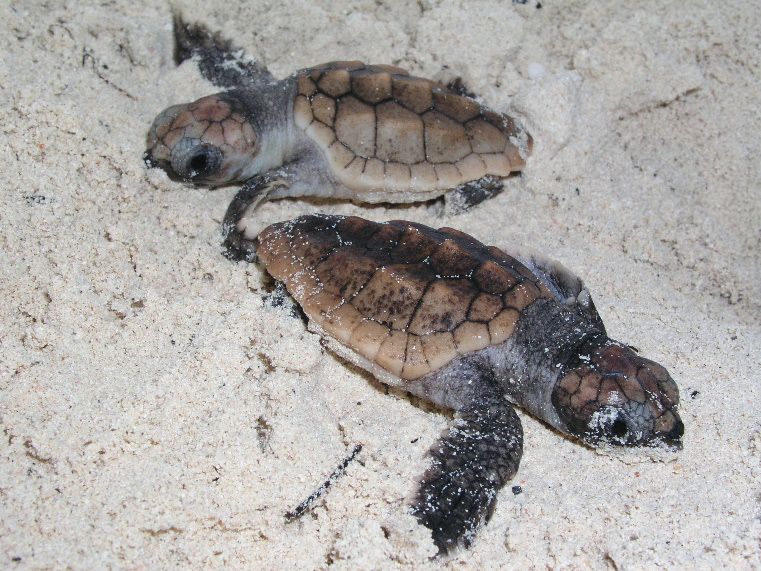 Loggerhead hatchlings on Coopers Island beach