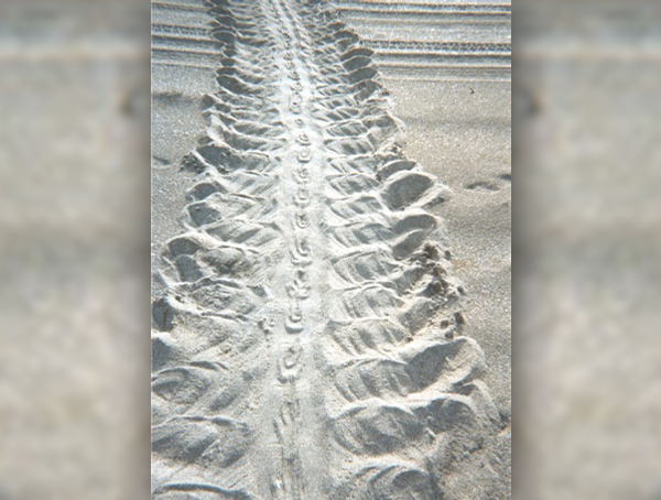 Tracks of a disoriented turtle hatchling