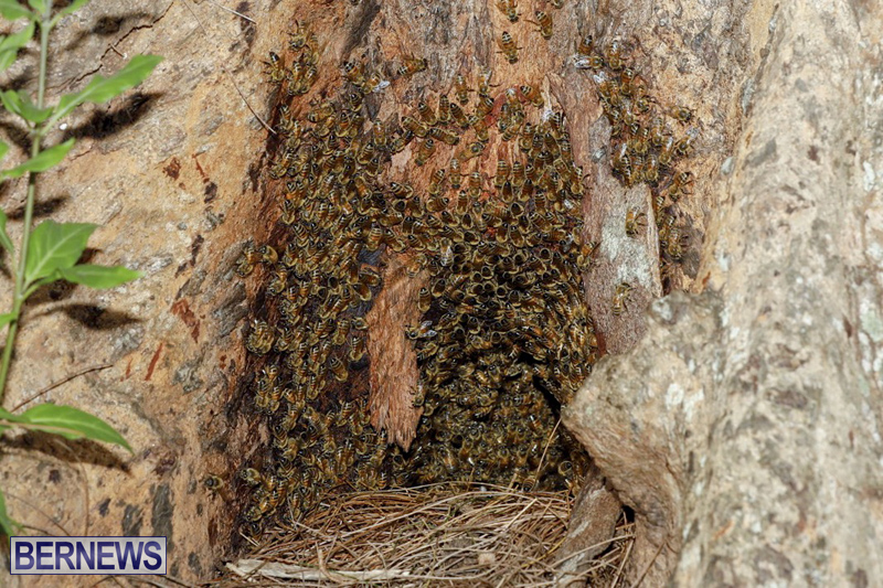 Bee hive Bermuda September 2018 (2)