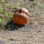 J&J's Pick Your Own Pumpkin Bermuda Oct 12 2018 (4)