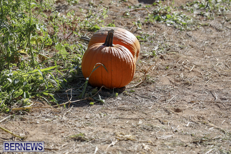 JJs-Pick-Your-Own-Pumpkin-Bermuda-Oct-12-2018-4