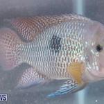 Fry-Angle Aquarium Fish Show Bermuda, November 17 2018-9209