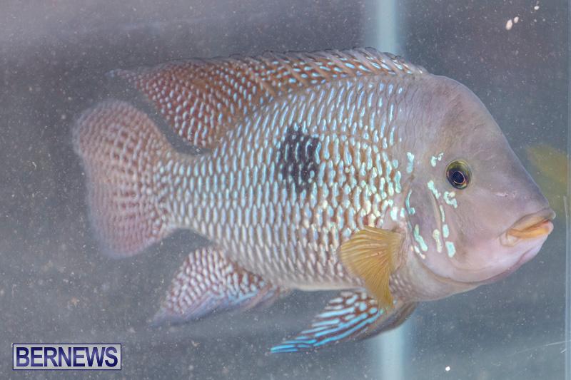 Fry-Angle-Aquarium-Fish-Show-Bermuda-November-17-2018-9209
