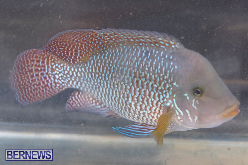 Fry-Angle-Aquarium-Fish-Show-Bermuda-November-17-2018-9210