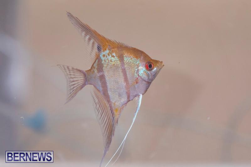 Fry-Angle-Aquarium-Fish-Show-Bermuda-November-17-2018-9216
