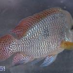 Fry-Angle Aquarium Fish Show Bermuda, November 17 2018-9220