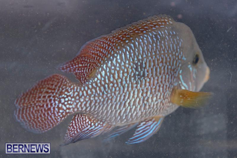 Fry-Angle-Aquarium-Fish-Show-Bermuda-November-17-2018-9220