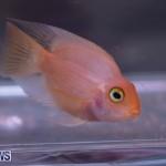 Fry-Angle Aquarium Fish Show Bermuda, November 17 2018-9224