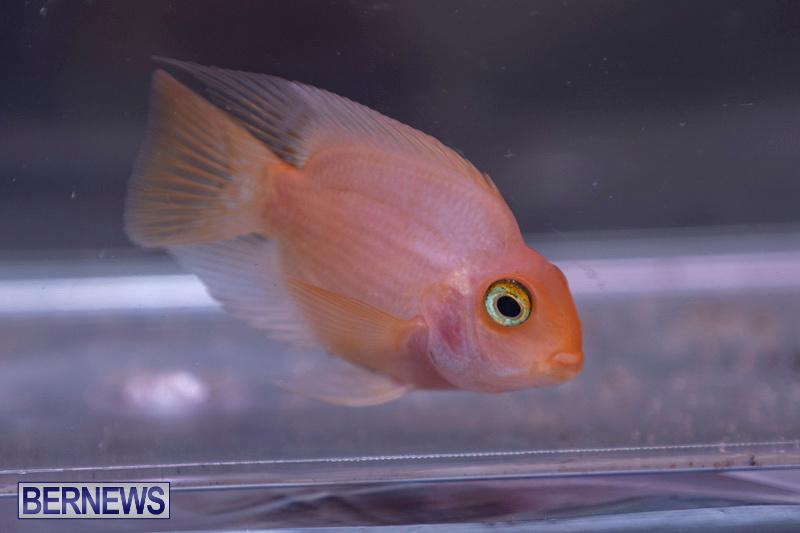 Fry-Angle-Aquarium-Fish-Show-Bermuda-November-17-2018-9224