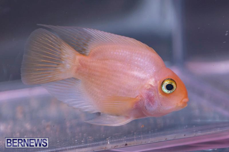 Fry-Angle-Aquarium-Fish-Show-Bermuda-November-17-2018-9225