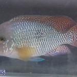Fry-Angle Aquarium Fish Show Bermuda, November 17 2018-9227