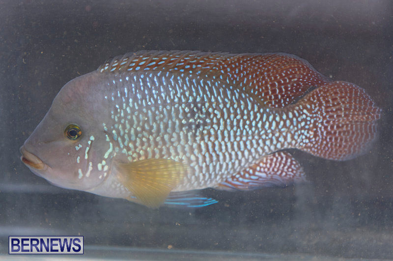 Fry-Angle-Aquarium-Fish-Show-Bermuda-November-17-2018-9227