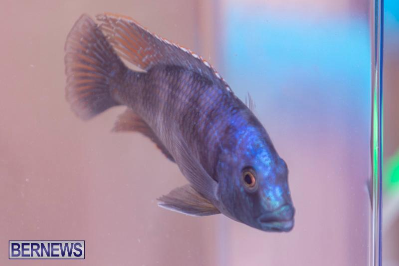 Fry-Angle-Aquarium-Fish-Show-Bermuda-November-17-2018-9228