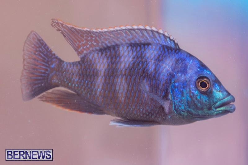 Fry-Angle-Aquarium-Fish-Show-Bermuda-November-17-2018-9230