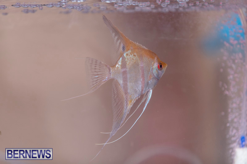 Fry-Angle-Aquarium-Fish-Show-Bermuda-November-17-2018-9232