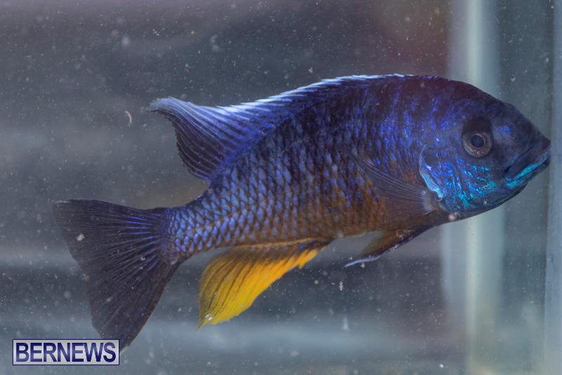 Fry-Angle-Aquarium-Fish-Show-Bermuda-November-17-2018-9240