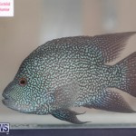 Fry-Angle Aquarium Fish Show Bermuda, November 17 2018-9243