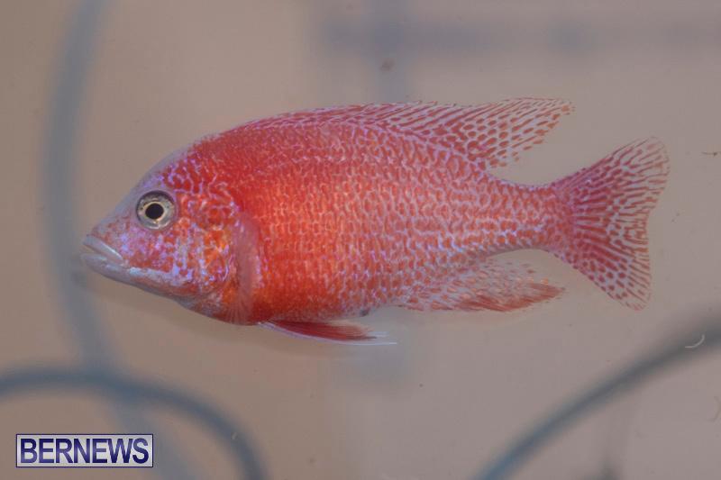 Fry-Angle-Aquarium-Fish-Show-Bermuda-November-17-2018-9244