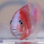 Fry-Angle Aquarium Fish Show Bermuda, November 17 2018-9246